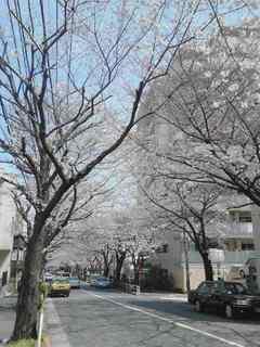 かむろ坂桜.JPG